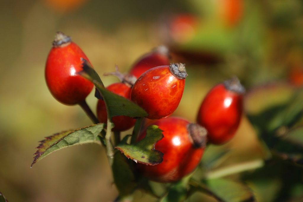 Rose hip Oil for Acne Scars
